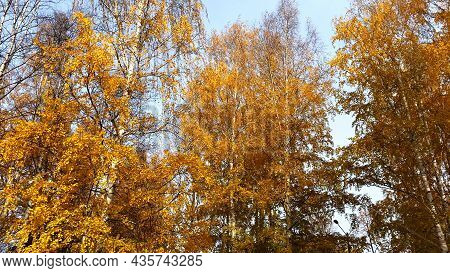 Autumn Landscape, Birch Trees With Yellow Leaves And Blue Sky