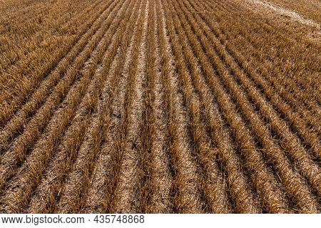 Stubble In The Field After Harvest. Cut Stalks Of Cereals In The Field. Slender Rows Of Grain Crops