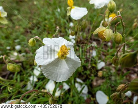 Macro Of White Flower With Yellow Center Of The White Rock-rose (helianthemum Apenninum) Blooming In