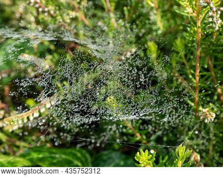 Closeup Of Beautiful Lace Of Spider Web Threads Covered By Small Round Dew Drop In Green Vegetation