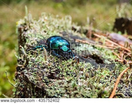 Macro Shot Of Beutiful Dor Beetle Or Spring Dor Beetle (trypocopris Vernalis) Autumnalis Heer, Dull