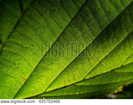 Macro Shot Of Texture Of A Green Leaf In Bright Backlight Showing Cells, Veins And Pattern Of Leaf S