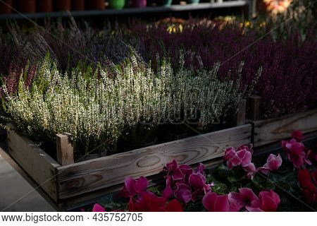 Calluna Vulgaris Flowering Plant Family Ericaceae Potted In A Wooden Box On The Counter Of The Greek