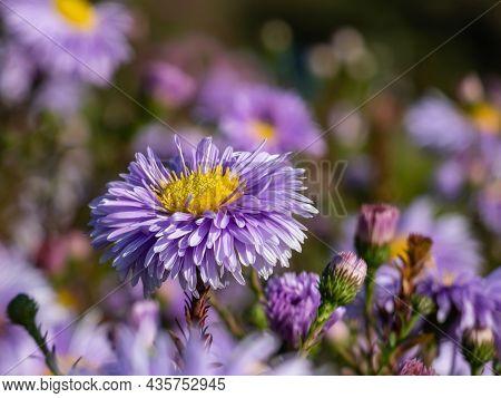 Beautiful Single Powder Puff Blue Daisy-like Flower With Yellow Eyes Michaelmas Daisy Or New York As