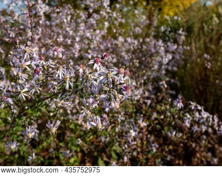 Close-up Shot Of Small Flowers Of Daisy-like Blue Wood Aster (aster Cordifolius Or Symphyotrichum Co