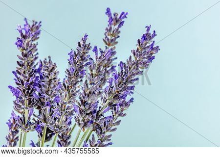 Lavender Flowers On A Blue Background With Copy Space, Lavandula Plants In Bloom, Aromatic Herb