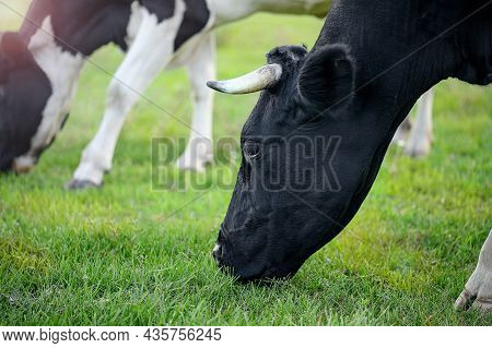 Cow Grazing In A Pasture With Green Fresh Grass Close-up. The Concept Of Environmentally Friendly Fa