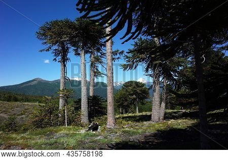 Araucaria araucana or Monkey puzzle tree forest in Villarrica national park in Chile, South America Andes nature