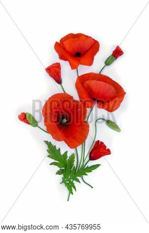 Flowers Red Poppy And Buds ( Papaver Rhoeas, Corn Poppy, Corn Rose, Field Poppy, Red Weed ) On A Whi