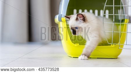 Adorable white ragdoll cat goes out from pet carrying for transportation. Purebred fluffy domestic feline animal and basket with metal lattice opened