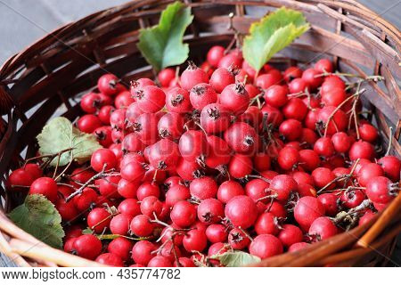 Ripe Hawthorn Berries, Hawthorn Branches On Wooden Background. Useful Medicinal Plants .