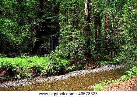 River In Muir Woods