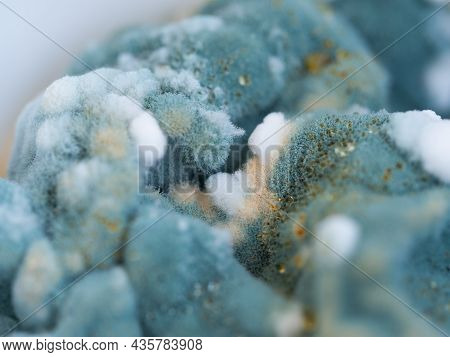 Mold Close-up Macro. Moldy Fungus On Food. Fluffy Spores Mold As A Background Or Texture. Mold Fungu