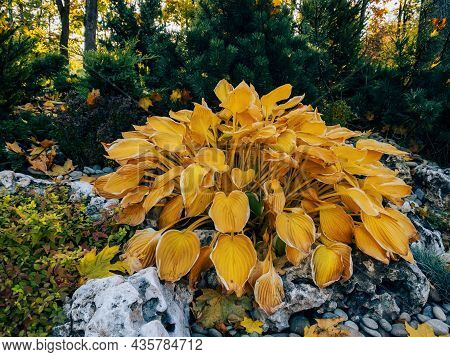 Hosta Plantaginea With Yellow Leaves - Plant For Japanese Autumn Garden Of Stones. Chinese Plant Wit