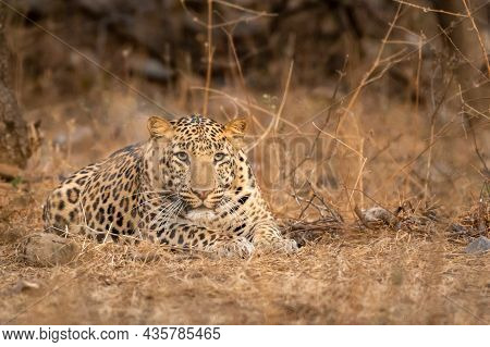 Indian Wild Male Leopard Or Panther Fixing His Gaze During Outdoor Jungle Safari At Forest Of Rajast