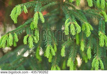 New Light Fir Sprout. Green Flora Bud. Evergreen Spring Grown. Freshness Grass. Vitamin C. Health Fo