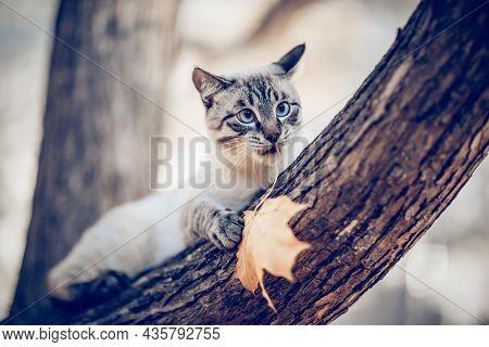 Thai Cat Climbs A Tree. A Cat Holds An Autumn Maple Leaf. Portrait Of A Thai Cat In Nature. A Thai-b