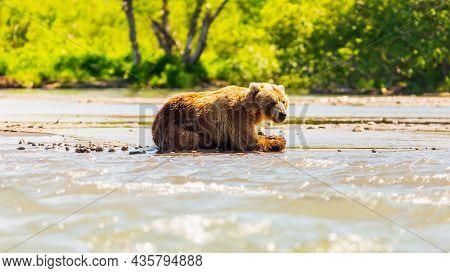 Brown Bear Or Ursus Arctos Beringianus Fishing In The Kurile Lake. Kamchatka Peninsula, Russia