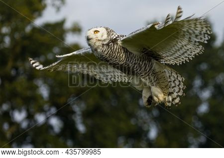 A Beautiful Snowy Owl Flying When Twilight Starts To Fall