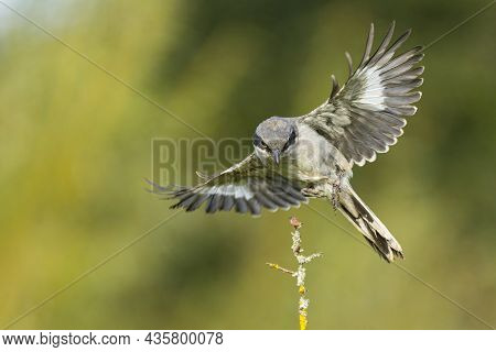 A Great Grey Shrike Approaching A Twig With Food