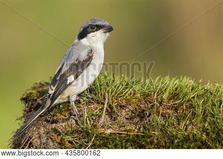 A Portrait Of A Great Grey Shrike