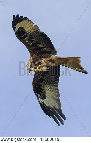 Red Kites Take Their Food From Their Claws Into Their Beak In Flight.