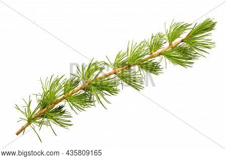 Larch Branch Isolated On A White Background