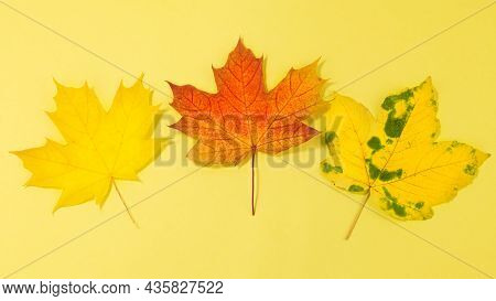 Autumn Leaves On A Yellow Background. Maple Autumn Leaves.