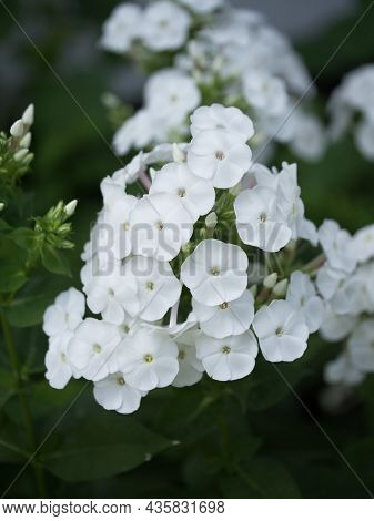 Inflorescence Of White Phlox Flowers, Close-up. Flowers With White Petals.