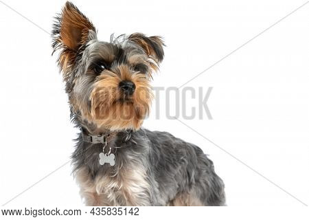 curious yorkshire terrier dog wearing collar and looking up and side while standing isolated on white background in studio