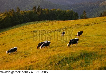 Herd Of Cattle Grazing On A Pasture In High Mountains.summer Rural View Of The Cows In The Paddock.b
