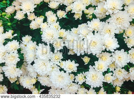 Bush Of Blooming Chrysanthemums In The Garden, Flower Blooming Background, Close Up Of White Chrysan