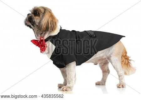 side view of adorable shih tzu wearing black costume and looking to side while standing isolated on white background in studio