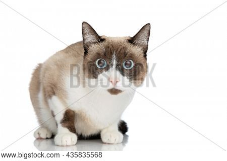 adorable small metis kitty with blue eyes sitting on white background in studio