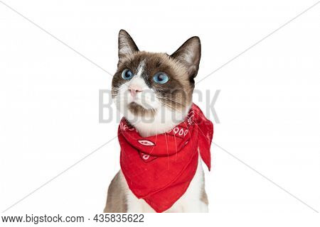 portrait of cute little metis kitty with red bandana around neck looking away while sitting isolated on white background in studio
