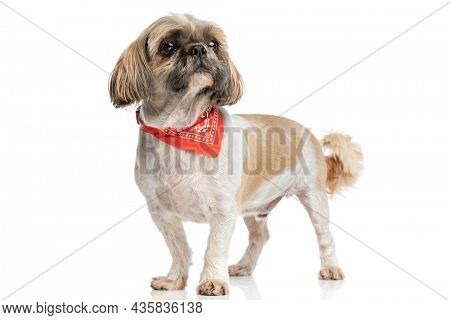 eager little shih tzu dog looking up and wearing red bandana while standing isolated on white background in studio