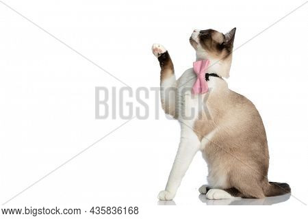 side view of playful little metis kitty wearing bowtie and looking up, holding paw in the air and sitting isolated on white background in studio