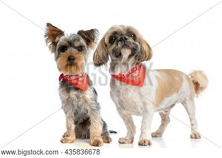 adorable shih tzu and yorkshire terrier puppies wearing red bandana and looking up while sitting and standing isolated on white background