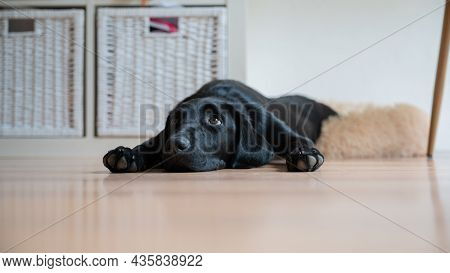 Low Angle View Of Cute Black Labrador Puppy Lying On The Floor At Home With Her Paws Next To Her Fac