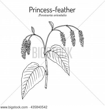 Princess-feather Or Kiss-me-over-the-garden-gate Persicaria Orientalis , Medicinal Plant. Hand Drawn