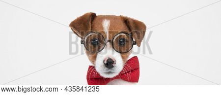 landscape of an adorable jack russell terrier dog wearing eyeglasses and a red bowtie on gray background