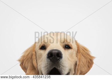 landscape of a beautiful golden retriever dog panting against gray studio background