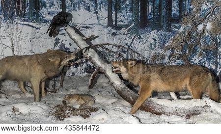 A Stuffed Wolfs. Wolf Heads. Museum Exhibit Stuffed Wild Predators. Hunting Trophy.
