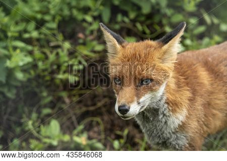 Stunning Vibrant Portrait Of Red Fox Vulpes Vulpes With Lush Green Background