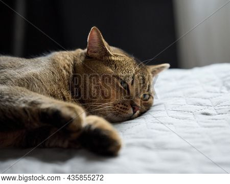 Adult Purebred Short-haired Cat Scottish Straight Sleeps On A Gray Bedspread, Close Up