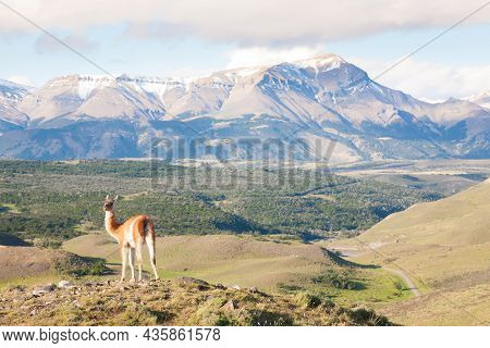 Guanaco From Torres Del Paine National Park, Chile. Chilean Patagonia Landscape