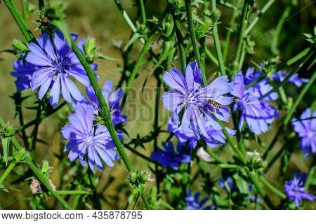 Vivid Blue Flower Of Wild Common Chicory Plant, In A Meadow In A Sunny Summer Day