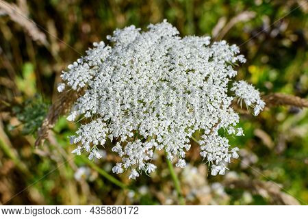 Many Delicate White Flowers Of Anthriscus Sylvestris Wild Perennial Plant, Commonly Known As Cow Bea