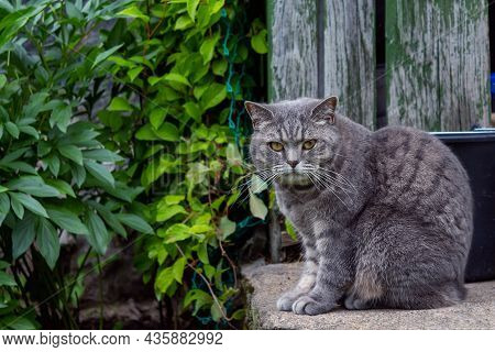Grey Old Cat Sitting On Stone Houses Porch. Looking Angry Directly To The Camera. Country Animal Lif