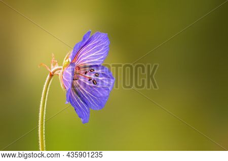 Purple Cranesbill Flowers In A Meadow